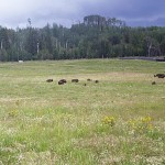Bison in Field 2