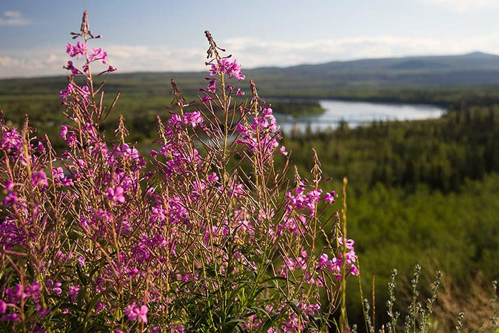 fireweed-view-IMG_9847-sm
